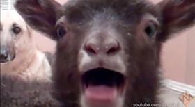 goat-thumb